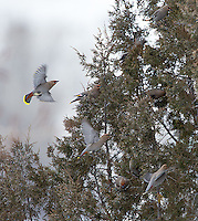 Bohemian waxwings are an uncommon sight around Yellowstone.  This was my first close encounter with them.