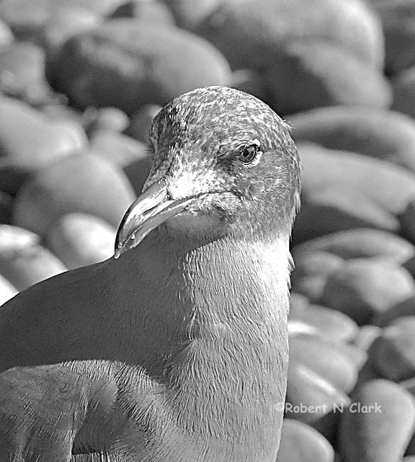 Seagulls on rocky beach, San Elijo State Beach, (Hey, you lookin at me?)