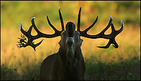 BNPS.co.uk (01202 558833)<br /> Pic: JonHawkins/BNPS<br /> <br /> Red deer stag bellowing.<br /> <br /> Photographer Jon Hawkins has reaped the benefits of many early morning starts this autumn with a stunning set of pictures from Bushy Park near Hampton Court of the magnificent Red Deer.