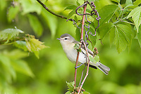 Warbling Vireo (Vireo gilvus) photographed near Lake Erie.