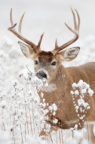 White-tailed Deer Buck (Odocoileus virginianus) in fresh snow.