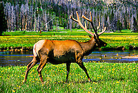Bull elk, Yellowstone National Park, Wyoming USA