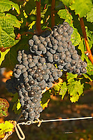 A vine with Ripe Merlot grape bunches on the vine at Chateau Lafleur, Pomerol, Bordeaux