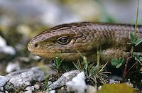 Scheltopusik, Panzerschleiche, Portrait, Pseudopus apodus, Ophisaurus apodus, European glass lizard, armored glass lizard, Schleichen, Schleiche, Anguidae