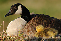 Adult Canada Goose (Branta canadensis) brooding a recently hatched chick at the nest. Tompkins County, New York. May.