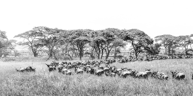 Wildebeast head north through the Serengetti towards Kenya in search of sustenance.  Just moments after this photo was taken a lioness lept out of the grasses to attack a young wildebeast.