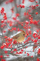 01530-21713 Northern Cardinal (Cardinalis cardinalis) female in Common Winterberry bush (Ilex verticillata) in winter, Marion Co. IL