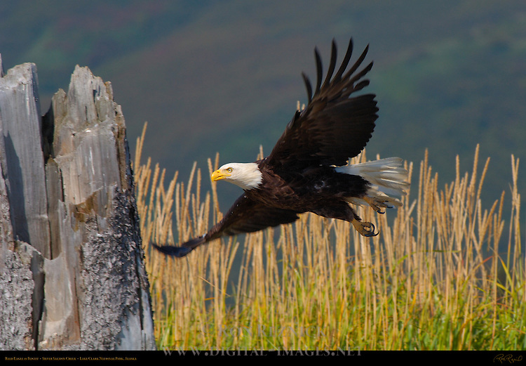 Bald Eagle in Flight, Silver Salmon Creek, Lake Clark National Park, Alaska