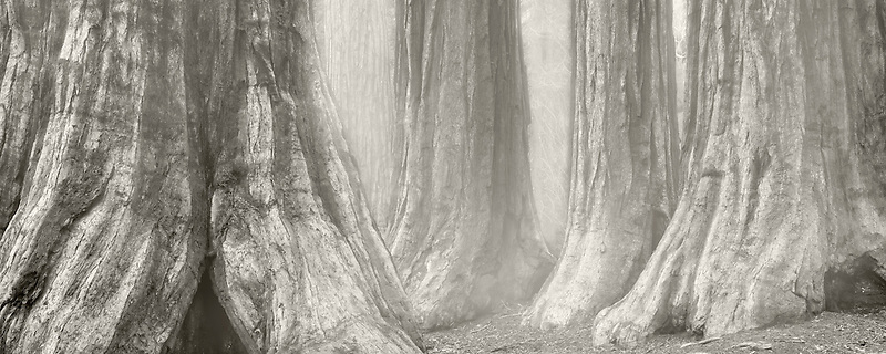 Grove of Giant sequoia trees. Mariposa Grove. Yosemite National Park, California