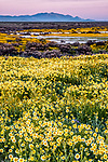 Sunrise over field of yellow daisies at Carrizo Plain National Monument