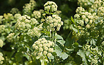 Smyrnium olusatrum or Alexanders, flowering plant frequently found in coastal areas, Mersea island, Essex, England