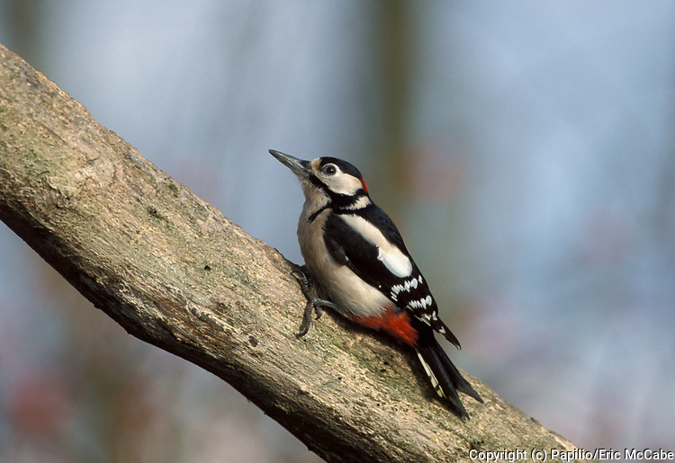 Great Spotted Woodpecker, Dendrocopus or Picoides major, on tree.