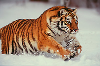 Siberian Tiger running through snow.