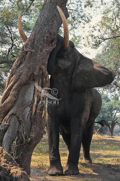 African elephant (Loxodonata africana) bull shaking acacia tree to dislodge seedpods which it will then pickup off ground and eat.  Mana Pools National Park, Zimbabwe.  Should it find that it can push the tree over it will do so and eat pods, limbs and leaves.  (Also see 3ME971).