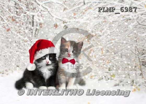 Marek, CHRISTMAS ANIMALS, WEIHNACHTEN TIERE, NAVIDAD ANIMALES, photos+++++,PLMP6987,#XA# cat  santas cap,