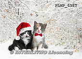 Marek, CHRISTMAS ANIMALS, WEIHNACHTEN TIERE, NAVIDAD ANIMALES, photos+++++,PLMP6987,#XA# cat  santas cap,