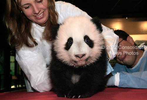 Smithsonian's National Zoo Keeper Cathy Morvick holds giant panda cub Tai Shan during his 10th physical exam, which was held this morning. Tai Shan, nearly 4 months old, now weighs 15.5 pounds. The National Zoo's three giant pandas live at the Zoo's Fujifilm Giant Panda Habitat.