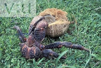 Coconut Crab (Birgus latro). Guam.