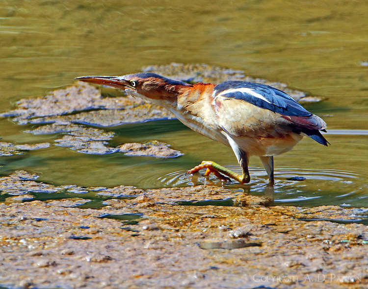 Adult male least bittern sees a fish