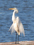 Great Egret. Andrea alba
