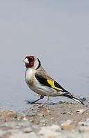 Stieglitz, Distelfink, an Wasserloch, Pfütze, Tränke, Carduelis carduelis, European goldfinch