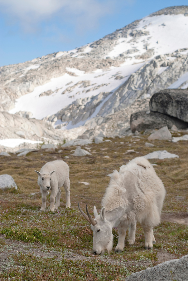 Mountain goats at top of Asgard Pass, enroute to the Enchantments, Alpine Lakes Wilderness, WA.
