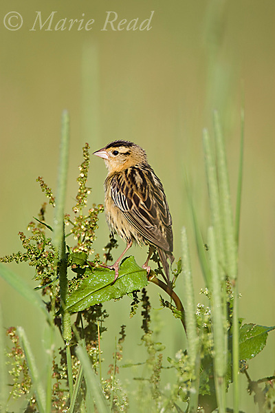 Bobolink (Dolichonyx oryzivorus), female, New York, USA