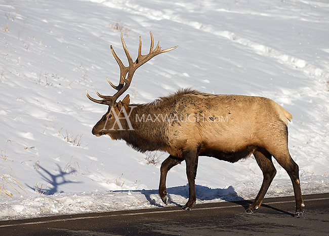 A bull elk looks for more accessible food near the road.