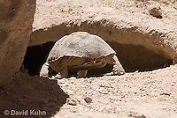 0609-1018  Desert Tortoise Retreating into Burrow to Escape Heat (Mojave Desert), Gopherus agassizii  © David Kuhn/Dwight Kuhn Photography