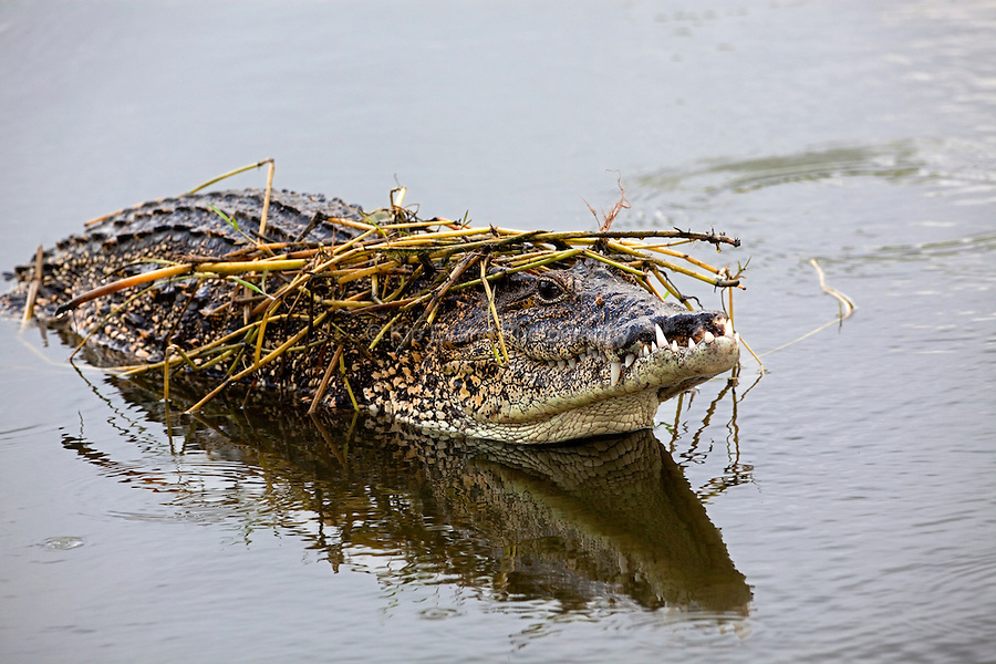 Cuban crocodile covered by reeds.