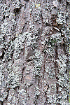 Lichen on Pine Tree Trunk, Hiidenportti National Park, Finland, in Sotkamo in the Kainuu region, bark