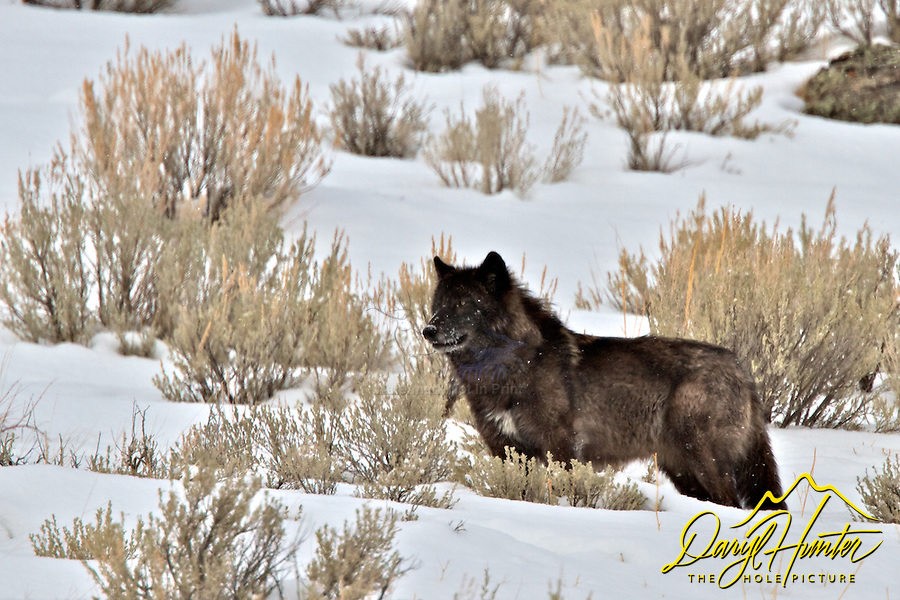 Black Wolf, winter,  Jackson Hole, Wyoming