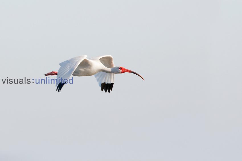 White Ibis in flight (Eudocimus albus)