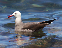 Adult Heermann's gull in breeding plumage
