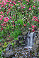 ORPTC_185 - USA, Oregon, Portland, Crystal Springs Rhododendron Garden, Light red blossoms of rhododendrons in bloom alongside waterfall.