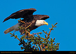 Bald Eagle in Takeoff Position, Silver Salmon Creek, Lake Clark National Park, Alaska