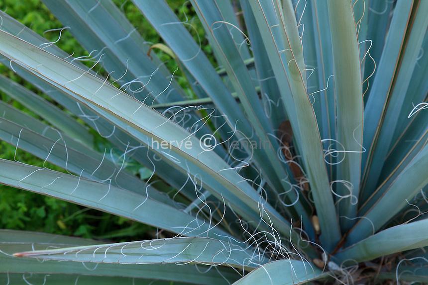 Le domaine du Rayol en f&eacute;vrier :  Yucca schidigera (californie)<br /> <br /> (mention obligatoire du nom du jardin &amp; pas d'usage publicitaire sans autorisation pr&eacute;alable)