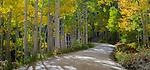 Gunnison National Forest, Colorado:  Morning sun on a winding gravel road through an autumn colored aspen (Populus tremuloides) grove