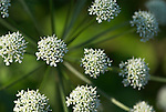 Wild Angelica, Angelica sylvestris, close up of flowering head, Stodmarsh, Kent, white flowers.United Kingdom....