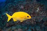 Unusual yellow variation of Cortez Sea Chub, Kyphosus elegans; normal coloration is silver-gray. Socorro Island, Revillagigedos, Mexico, Pacific Ocean