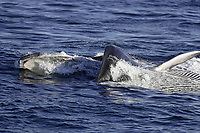 Ventral view oif Fin Whale Balaenoptera physalus lunge feeding on Krill Thysanoessa inermis showing expanded throat pleats baleen and pectoral fin Spitsbergen Arctic Norway North Atlantic