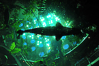 Dec. 30, 2009 - San Francisco, California, USA - Fish swim in a giant aquarium at the California California Academy of Sciences Natural History Museum in San Francisco Wednesday December 30, 2009. Visitors can view the fish from a glass tunnel below the aquarium. (Photo by Alan Greth)