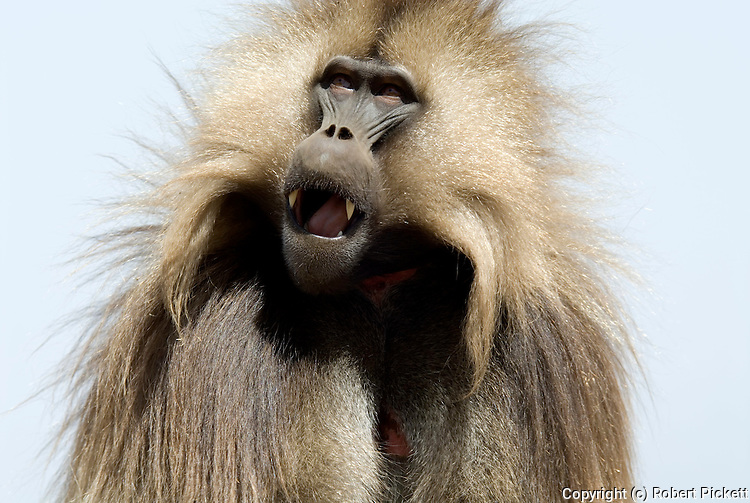 Gelada Baboon, Theropithecus gelada, Simien Mountains National Park, Ethiopia, male, red chest, bleeding heart, face, portrait, looking up, calling, showing teeth, vunerable, endangered.Africa....