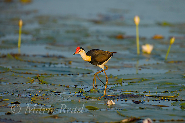Comb-crested Jacana (Irediparra gallinacea), adult walking over lilypad, Yellow Water, Kakadu National Park, Northern Territory, Australia