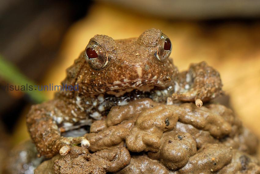Seep Frog (Occidozyga baluensis), Danum Valley Conservation Area, Sabah, Borneo, Malaysia
