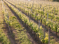 Vineyards near Saint Emilion, France