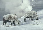 frosted bison near the Firehole River on a very cold winter morning