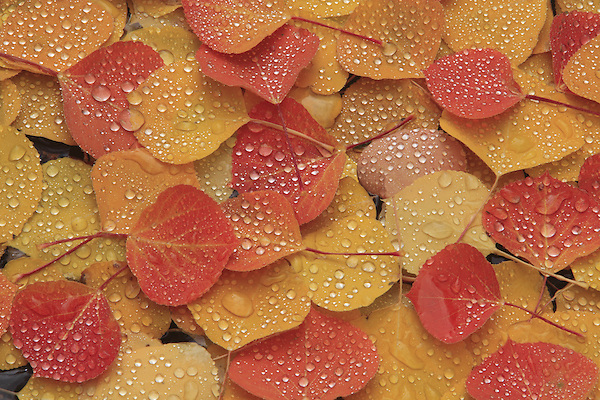 Pattern of autumn Aspens leaves with waterdrops.