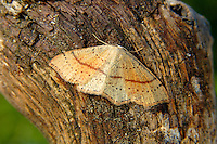 Maiden's Blush Cyclophora punctaria Wingspan 19-24mm. Beautiful moth that rests with its wings spread flat. Adult has yellow-buff upperwings, flushed with orange towards centre and with two rows of dark dots; hindwings are pale yellow-buff. A dark reddish line runs across both pairs of wings. Double-brooded: flies May-June, and again in August. Larva feeds on oaks. Locally common only in southern England.