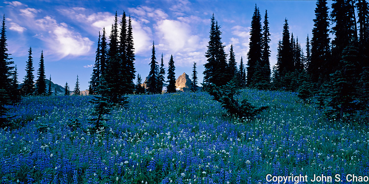 A panorama of lupines blooming on a hillside with sunrise lighting distant Pinnacle Peak, Mount Rainier National Park, Washington State.